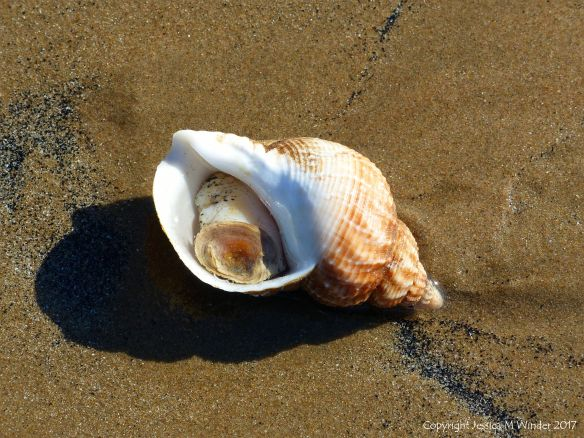 Living common whelk washed up on a sandy beach