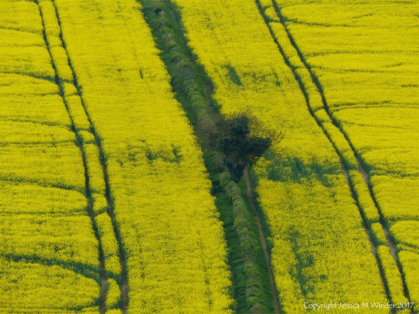 Fields of yellow oilseed rape crop growing around the Dorset village of Charlton Down in the English countryside