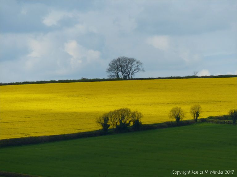 Contrasting fields of green wheat and yellow rapeseed flowers