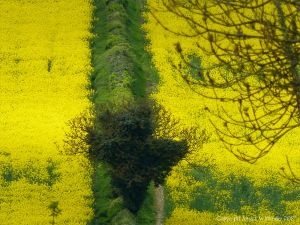 Hedgerow and tree separating fields of yellow flowering oilseed rape in the English countryside