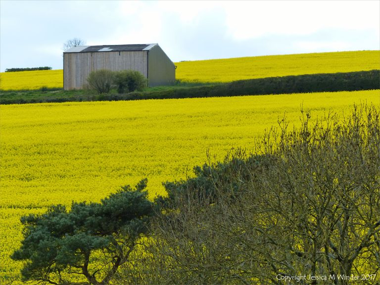 Rural view from a wooded valley of yellow flowering rapeseed on the hillside