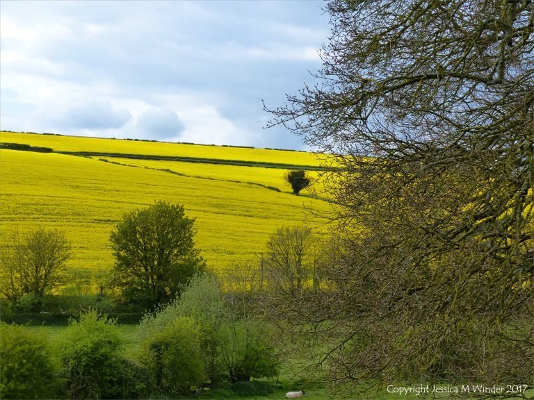 Farming country around Charlton Down in spring