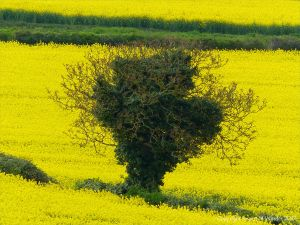 Field boundary hedgerows and tree dividing fields of yellow flowering oilseed rape crop