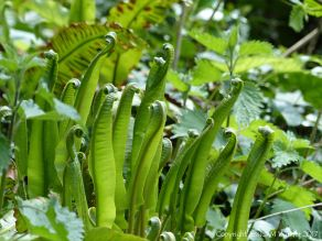 Fronds of Hart's Tongue Fern uncurling in Spring