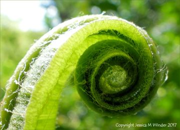 Frond of Hart's Tongue Fern uncurling in Spring