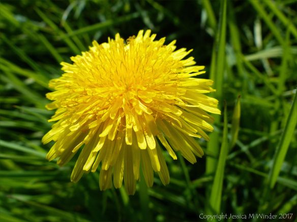 Common Dandelion flower