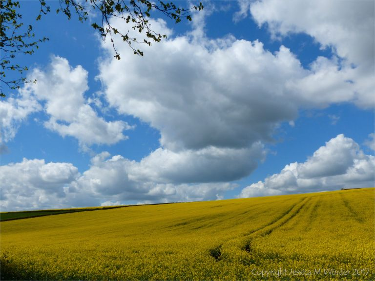 Big sky with clouds over yellow fields on Charlton Down.