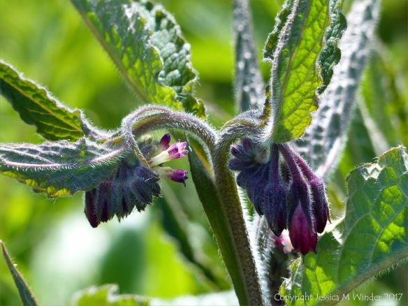Comfrey flower buds
