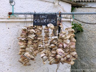 Strings of oyster shells for use as cultch to catch oyster spat