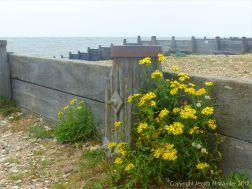 Yellow flowers growing on a shingle beach by a wooden breakwater