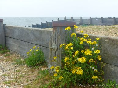 Yellow flowers growing on a shingle beach by a wooden breakwater