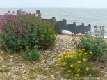 Wild flowers growing on the stabilised shingle of the upper beach at Whitstable