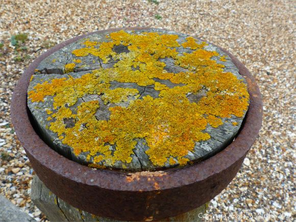 Yellow lichen growing on top of an upright wooden post on the seashore