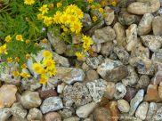 Wild yellow flowers growing on a shingle beach of flints andpebbles with many small holes made by marine organisms