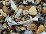 Oyster and other shells on a shingle beach