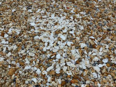 Oyster shells on the beach at Whitstable