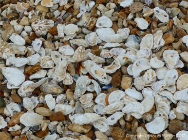 Oyster shells washed ashore at Whitstable