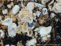 Oyster and other shells on the strandline of a shingle beach