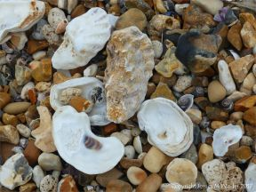 Oyster shells on a shingle strandline