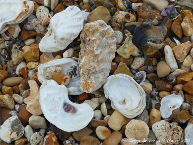 Oyster shells on a shingle strandline