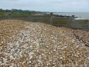Oyster shells on a shingle strandline between breakwaters