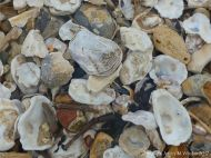 Oyster shells on a shingle strandline on the seashore