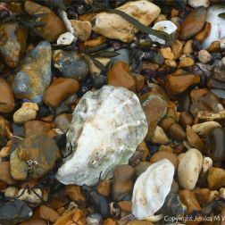 Oyster shells on a shingle strandline at the seashore