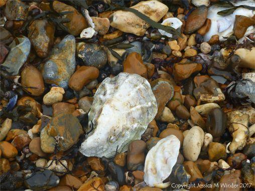 Oyster shells on a shingle strandline at the seashore