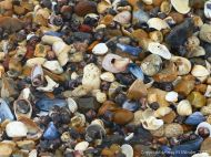 Seashells on a shingle strandline