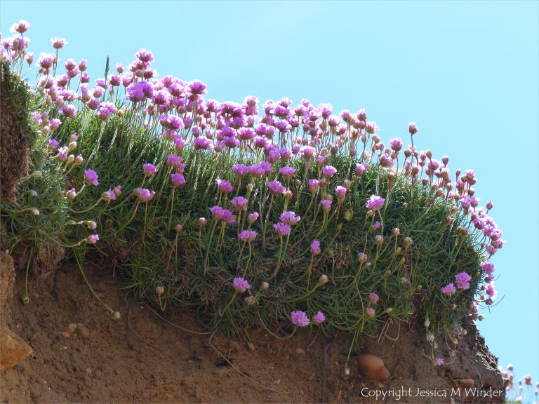 Pink flowers of Thrift (Armeria maritima) growing on cliffs