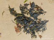 Wrack seaweed washed ashore on sand