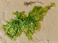 Green Sea Lettuce seaweed washed up on a sandy beach