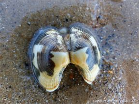 Empty Manila Clam shell on the seashore