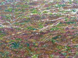 A multi-coloured mat of small, soft, seaweeds washing ashore at Studland Bay