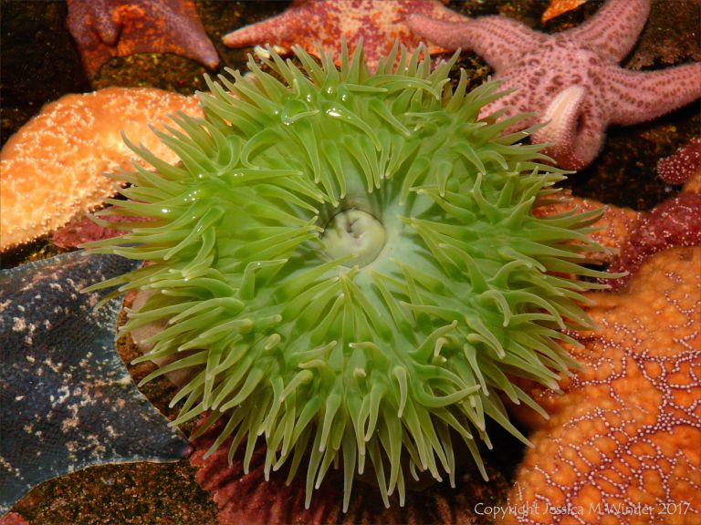 Giant green sea anemone and starfis from the North West Pacific Coast