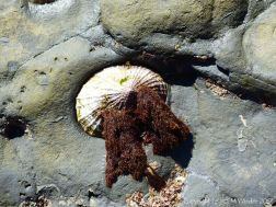 Limpet with tassels of red seaweed