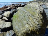 Boulder of calcareous mudstone low on the beach at Seaton, Dorset, England, on which limpets and bristle worms live and erode the rock.
