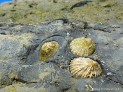 Limpets in their home bases with grazing track marks.