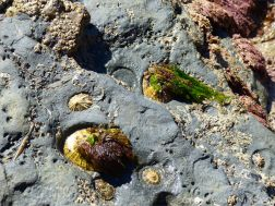 Limpets in their home bases on rock