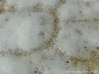 Polygon pattern of bio-erosion by marine bristle worms following the lines of natural fractures in calcareous mudstone