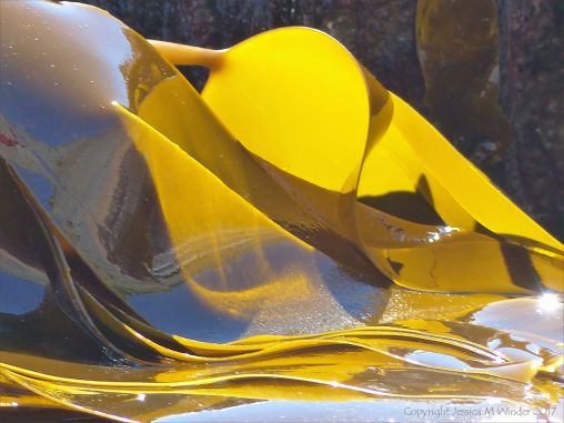 Oarweed or Tangle kelp golden and translucent in sunlight