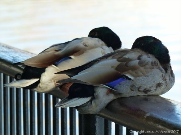 A couple of ducks snoozing on railings