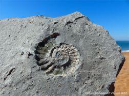 Ammonite fossil on Seatown Beach