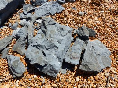 Ammonite fossils on Seatown Beach
