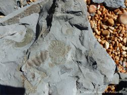 Ammonite fossils on Seatown Beach