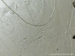 Tracks and trails made by small seashore invertebrate creatures in soft mud