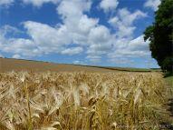 Barley ripening in a Dorset field