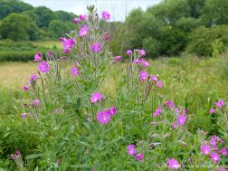Pink flowers of Great Willowherb on the river bank