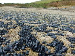 Mussels, limpets, and barnacles growing on limestone at Fall Bay