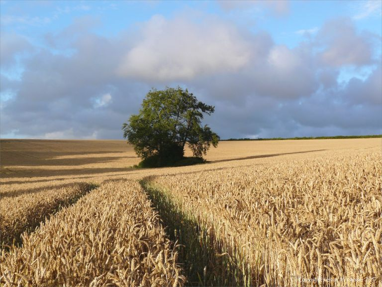 A clump of trees amidst the wheat